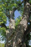 natural monument old oak