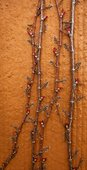 Nature Background - Creeping Shrub with Buds on Orange Wall