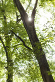 Sun through the green leaves of the canopy from a tall deciduous tree outdoors in the forest in nature