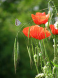 Red poppy on the natural green
