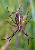 wasp spider argiope bruennichi in mating