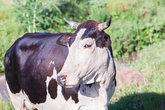 Cow Animals Rural Valley
