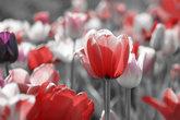 tulips gray concept