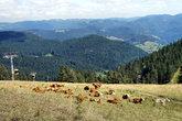 cow herd and the belchen cableway