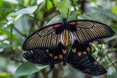 great mormon knight butterfly