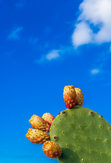 cactus with prickly pear in front of blue sky with space for text
