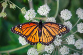 orange butterfly monarch summer nature closeup colorful insect