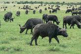 buffalo in the savannah safari in kenya