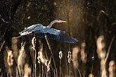 Grey Heron  (Ardea cinerea) in flight in lovely evening light - wildlife in its natural habitat