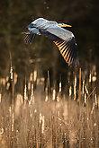 Grey Heron  (Ardea cinerea) - wildlife in its natural habitat