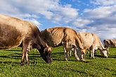 Cattle Dairy Animals  Countryside Farmlands