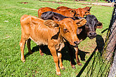 Cattle Calf Young Animals