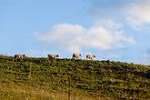 Sheep Animals Herd Summer Mountains