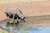 Rhinos Waterhole Wildlife Animals
